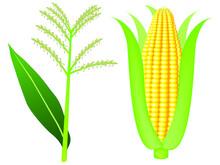 Corn Tassels And Ears Of Ripe ...