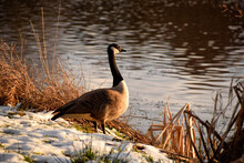 Canada Goose At The Shore Of A Lake
