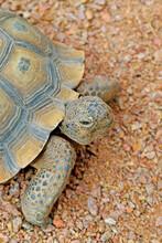 Desert Tortoise - Close-up Image Of A Desert Tortoise's Head, Legs And Partial Shell.