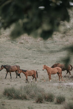 Herd Of Majestic Red / Brown Horses On Pasture, Photo Taken An Early Morning. Four Red Fux Horses Seen In The Image.