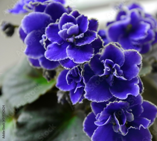 Beautiful Blue African Violet flowers. Canvas Print