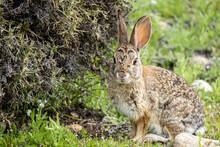 Wild Rabbit In Grassy Scrub