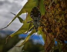 Assassin Bug, Wheel Bug On Sunflower Eating Cucumber Beetle, Close Up