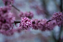 Redbud Tree Blossom On Cold Morning With Shallow Depth Of Field. Red Budding Flowers On Tree Branch With Dew Gathering On Petals