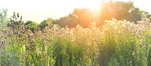 Field Grass In Sunlight, Nature Summer Background. Rustic Landscape. Sunny Wild Meadow