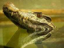 Crocodile With Head Above Wate...