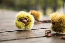 Maronen Eßkastanien In Grüner Stachel Schale Bei Sammeln Ernte Draußen Im Herbst