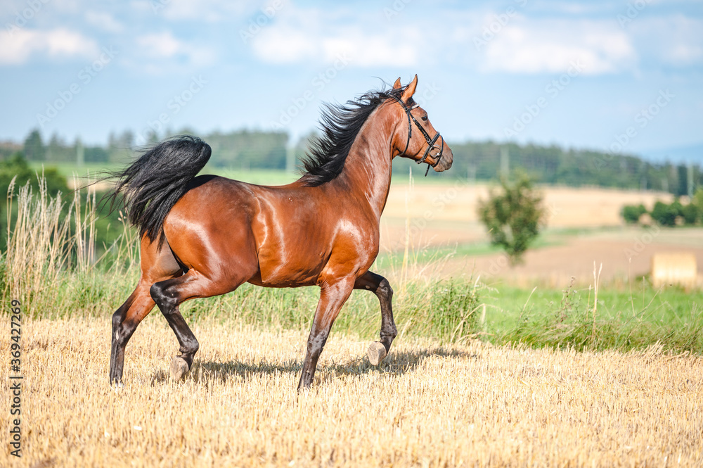 Fototapeta Amazing healthy brown purebred stallion running on a stubble field in summer evening. Stunning horse in motion.
