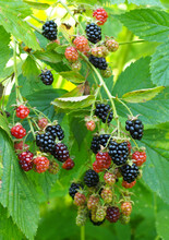 Bunches Of Ripening Hybrid Blackberries On The Background Of Leaves