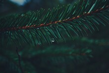 Close-up Of Raindrop On Pine Tree