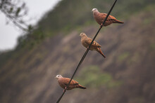 Three Rolinhas (Columbina) In ...
