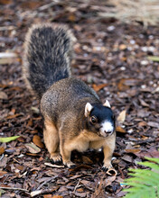 Fox Squirrel Stock Photos. Sherman Fox Squirrel Foraging And Looking At The Camera In Its Habitat And Environment With A Blur Background Displaying Brown Fur, Head, Eye, Ears, Nose, Paws, Bushy  Tail.