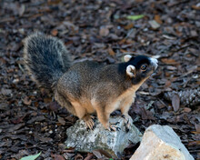 Fox Squirrel Stock Photos.  Sherman Fox Squirrel  Sitting On Rock In Its Habitat And Environment With A Foliage Background Displaying Brown Fur, Bushy Tail, Head, Eye, Ears, Nose, Paws.