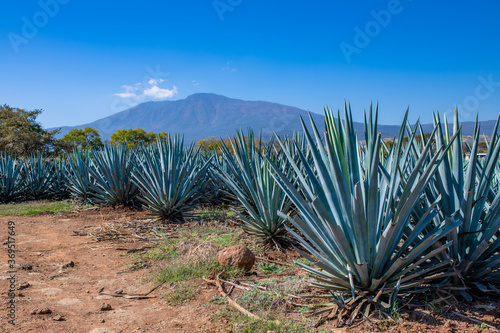 Photo Blue Agave field in Tequila, Jalisco, Mexico