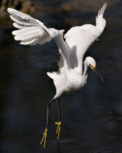Snowy Egret Bird Stock Photos. Image. Portrait. Picture. Beautiful White Fluffy Feathers Plumage. Flying Bird Over Water.  Spread Wings. White Colour.