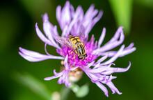 Striped Bee On Purple Flower