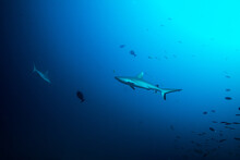 Two Grey Reef Sharks Circling At The Maldives In The Indian Ocean
