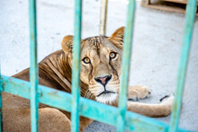 Close-up Lioness In A Zoo Cage. The Animal Sits In A Cage. A Lion. Lioness At The Zoo