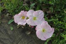 Pink Evening Primrose Flowers Three