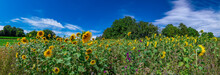 Panorama With Some Sunflowers On A Sunny Summer Day With Blue Sky And Few White Clouds