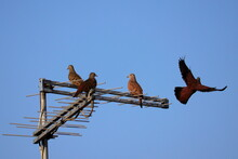 Three Doves Perched On The Stems Of An Antenna And Another Flying Around, Under A Cloudless Blue Sky.