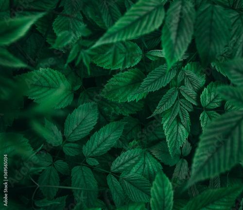 Fototapeta Closeup view of green leaves background in dark forest obraz na płótnie