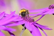 Bubble Bee On Purple Flower 1