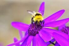Bubble Bee On Purple Flower