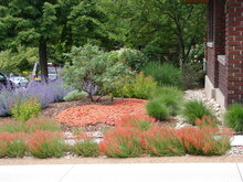 Xeriscape Garden Landscape With Hardy Ice Plant, Catmint, Penstemon And Pine