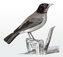 American Robin, Turdus Migratorius Standing On A Branch, After An Antique Illustration From The 19th Century
