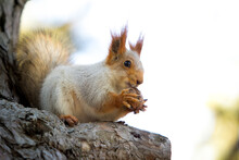 Squirrel On A Branch. A Cute S...