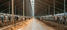 Dairy Farm, Barn Panorama With Roof Inside And Many Cows Eating Hay.
