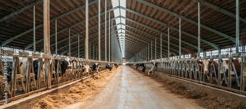 Stampa su Tela Dairy farm, barn panorama with roof inside and many cows eating hay