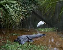 Alligator Stock Photos. Alliga...