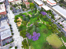 An Aerial View Of Purple Jacaranda Trees And Tall Green Pine Trees And Green Grass At Old Town Park In Pasadena California