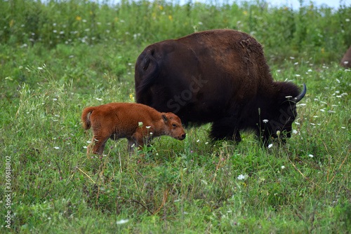 American Bison Mother and Child