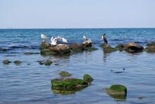 Gulls And Cormorants Sit On Rocks Near The Sea.