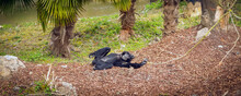 Siamang Gibbon Monkey Relaxing...
