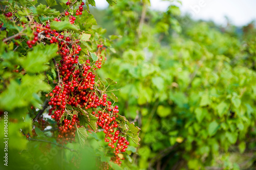 Fotografiet red currant bush