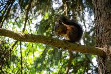 Red Squirrel With Beautiful Da...