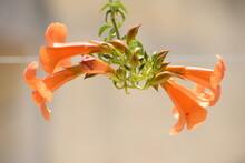 Orange Trumpet Vine Creeper OR...