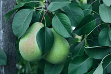 Ripe Pears Hanging On A Branch...