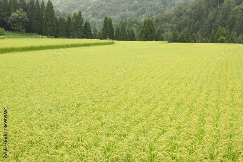 Fotomural コシヒカリの田園風景