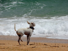 A Small White Dog Stands On The Sand And Looks Intently At The Sea Waves.