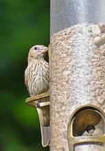 Female House Finch On A Feeder