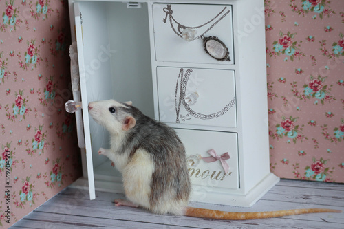 Tablou Canvas A decorative black and white rat dumbo husky stands on its hind legs next to a white cabinet