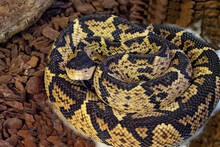The Black-headed Bushmaster, Lachesis Melanocephlaus, Is One Of The Rarest Snakes Living In A Small Area In Costa Rica
