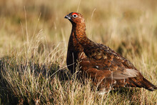 Red Grouse Lagopus Lagopus Scotica, Perched In Heather With A Blurred Background. Scotland