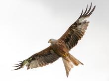 Red Kite In Flight (Milvus Mil...