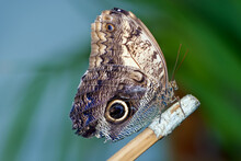 An Owl Butterfly Is Known For ...